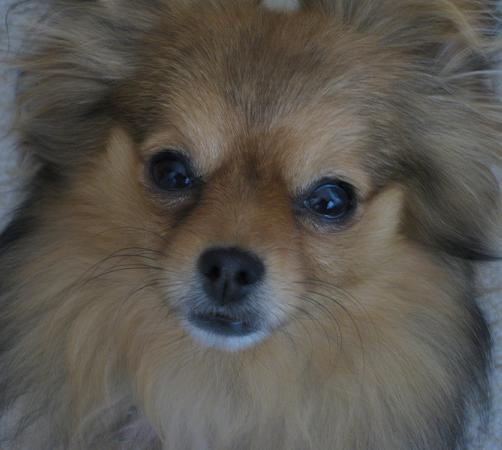 Pomeranian Mix Picture