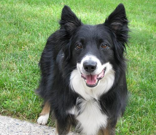 border collie mix - DriverLayer Search Engine