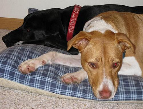 lab jack russell pit mix - photo #13