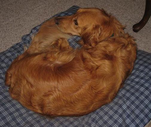golden retriever dog bed
