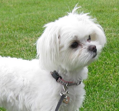 little maltese dog