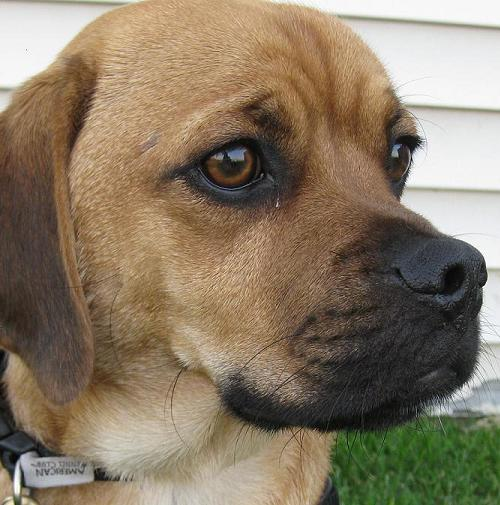 Pug Mix | Dog Breeds Picture