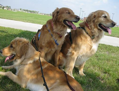 three goldens retrievers