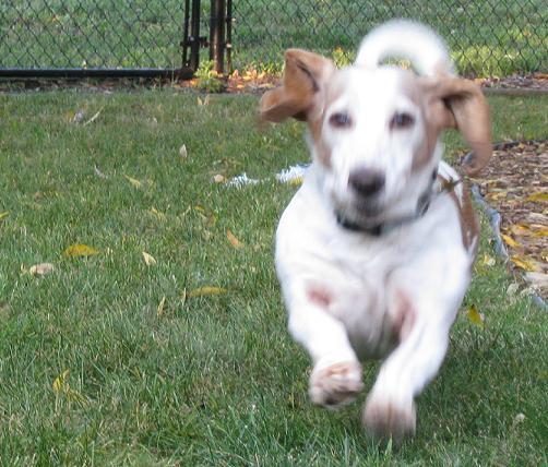 tri color basset hound