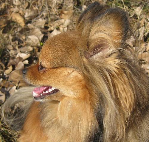 Pomeranian mix