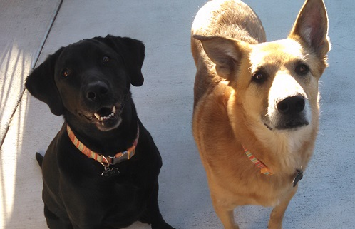 Rory the Lab and Roxy the shepherd
